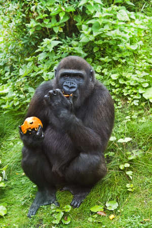 Young gorilla, sitting at the hill side, eating fruit Stock Photo