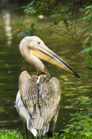 pelecanidae: Rosy- or Great white pelican - Pelecanus onocrotalus - standing at the waterside