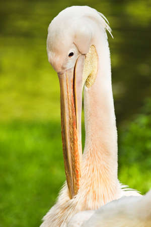 Rosy- or Great white pelican - Pelecanus onocrotalus - cleaning feathers Stock Photo - 14841196