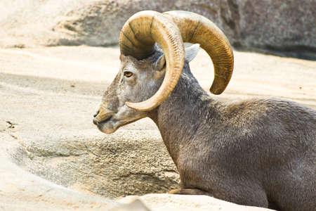 Male Mouflon or wild mountain sheep resting photo