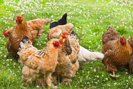 pollitos: Colecci�n de pollo con plumas decorativas en verano en el campo Foto de archivo