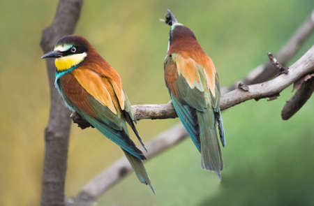south african birds: European Bee-eaters or Merops apiaster on branch