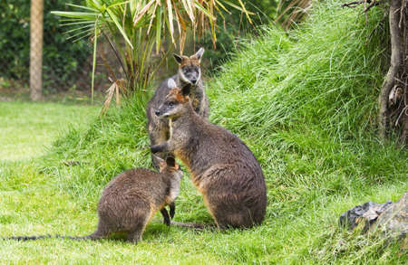 wallaby: Three Swamp wallabies in park on rainy day in summer Stock Photo