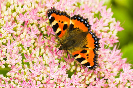 nymphalis: Small tortoiseshell butterfly or Aglais urticae on Sedum flowers in late summer