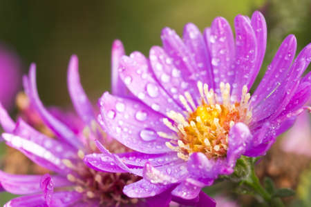 New York aster or Michaelmas daisy with waterdrops flowering in autumn sunshine photo