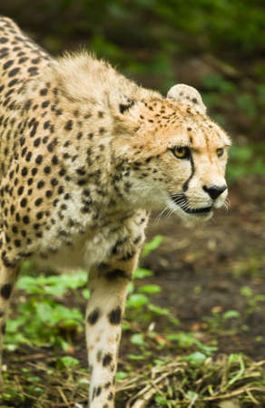 Close up Cheetah or Acinonyx jubatus passing by  photo
