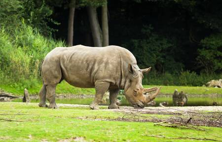 endangered species: White rhinoceros or Ceratotherium simum -  biggest rhinoceros - endangered species