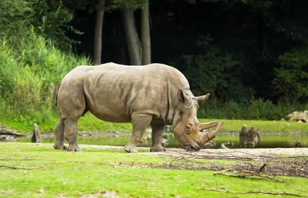 White rhinoceros or Ceratotherium simum -  biggest rhinoceros - endangered species
