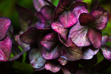 discolored: Metallic shine on discolored Hortensia flowers in the rain in fall Stock Photo