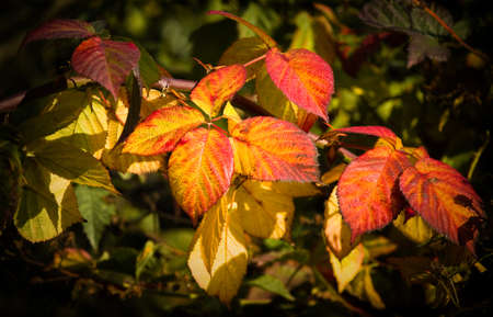 brambleberry: Sunshine on colorful Brambleberry leaves on October day in autumn Stock Photo
