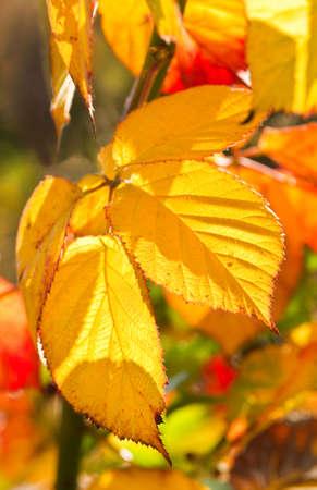 brambleberry: Brambleberry Hojas coloridas en soleado d�a de octubre de oto�o