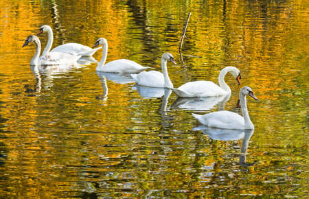 mute swan: White mute swans or Cygnus olor with colorful reflection of autumn trees in the water