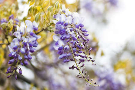 wisteria: Chinese Wisteria or Wisteria sinensis flowering  in spring - horizontal image