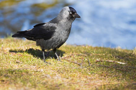 Jackdaw at the waterside on a sunny day in early spring photo