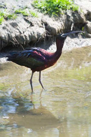 Glossy Ibis or Plegadis falcinellus drinking water in sunshine at the waterside photo