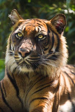 panthera tigris: Portrait of Bengal- or Asian tiger in morning sun