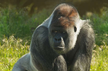 anthropoid: Silverback gorilla standing in morning sunshine and staring Stock Photo