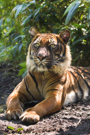 panthera tigris: Bengal- or Asian tiger in morning sun with background of bamboo bushes