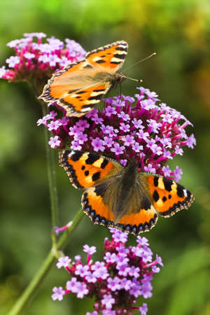 Small tortoiseshell or Aglais urticae butterflies on purple Verbena flowers in summer Stock Photo