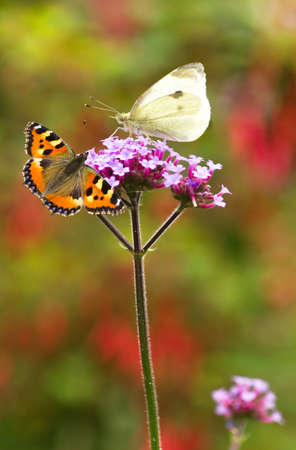nymphalis: Verbena flowers with Large white and Small tortoiseshell butterflies in summer garden Stock Photo