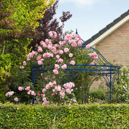 Pink roses in summer growing over arbour, gazebo or bower in garden photo