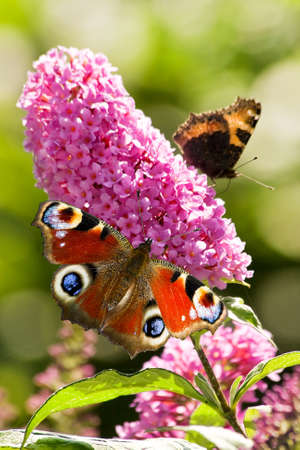 inachis: Pink butterfly bush flowers in summer with Peacock- and small tortoiseshell butterflies