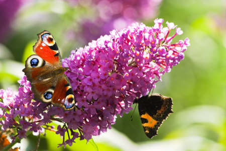 Pink butterfly bush flowers in summer with Peacock- and small tortoiseshell butterflies