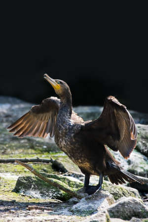 carbo: Great cormorant or Phalacrocorax carbo spreading wings
