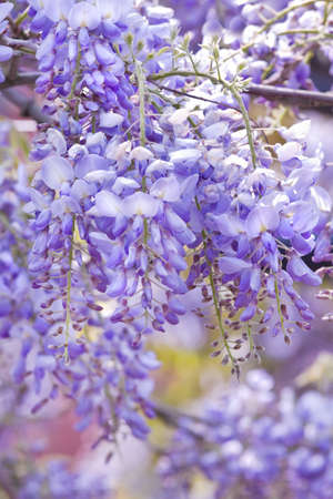 wisteria: Beautiful Wisteria sinensis flowers blooming in springtime  Stock Photo