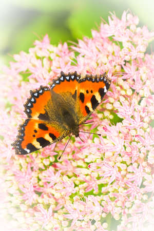nymphalis: Small tortoiseshell butterfly or Aglais urticae on Sedum flowers in late summer - vertical