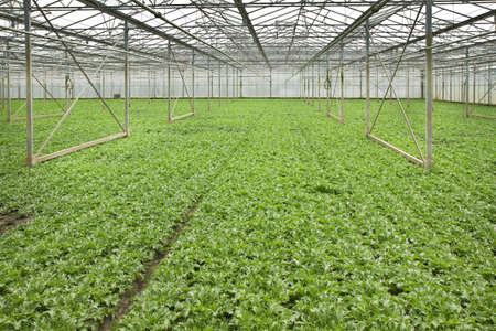 monoculture: Overview monoculture of Andive plants growing in glasshouse in summer - horizontal Stock Photo
