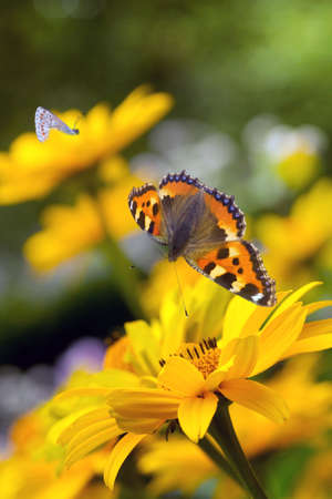 oxeye: Small tortoiseshell butterfly and bumble bees on false sunflowers or Heliopsis helianthoides  in the garden in summer