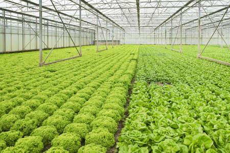 Monocultuur van Salade planten groeien in de kas in de zomer - horizontale