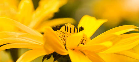 oxeye: False Sunflower or Heliopsis helianthoides yellow summerflowers pano