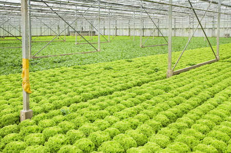 farming industry: Greenhouse with growing Salad and Andive plants - horizontal Stock Photo