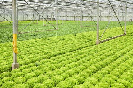 Kas met groeiende salade en andijvie planten - horizontale Stockfoto