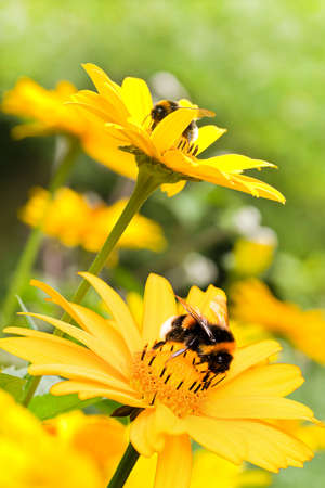 bumble bee: Bumble bees on false sunflowers or Heliopsis helianthoides in the garden in summer - vertical Stock Photo