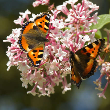 nymphalis: Small tortoiseshell butterflies feeding on Syringa flowers in summer