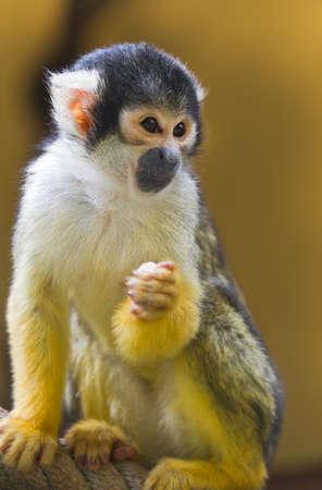 squirrel monkey: Squirrel- or Skull monkey sitting on rope