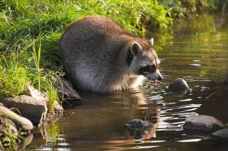 coons: Common raccoon or Procyon lotor in evening sun searching for food in water - horizontal