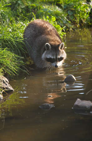 coons: Common raccoon or Procyon lotor in evening sun searching for food in water - vertical