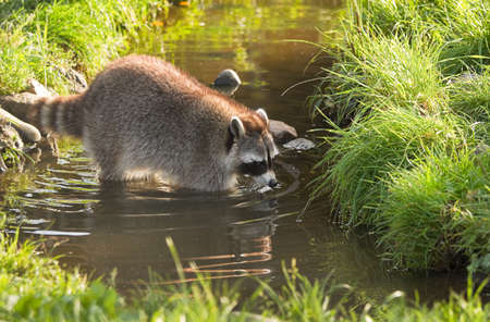 raccoons: Common raccoon or Procyon lotor in evening sun searching for food in water Stock Photo