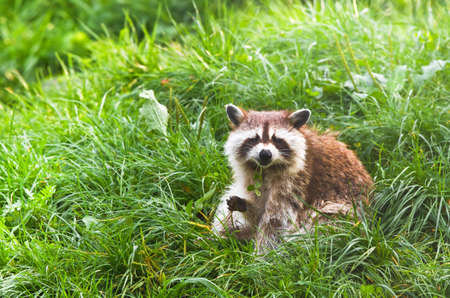 coons: Common raccoon or Procyon lotor sitting on grass holding clover