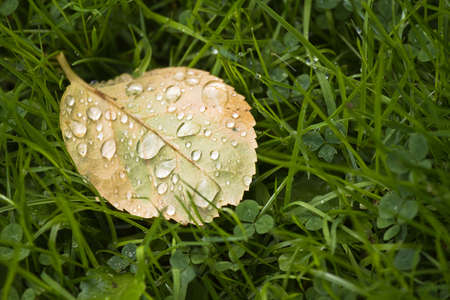 Fallen Rose leaf with dewdrops in the morning on grass with clover in late summer photo