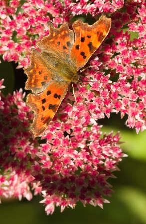 Comma Schmetterling oder Polygonia c-album Fütterung auf Sedum Blumen in summersun Standard-Bild - 25273272