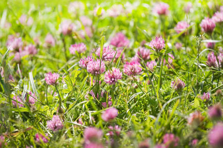 Red clover or Trifolium pratense flowers growing on field in summer photo