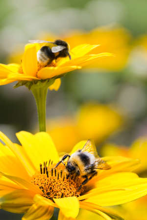 bee pollen: Bumble bees on false sunflowers or Heliopsis helianthoides in the garden in summer - vertical Stock Photo