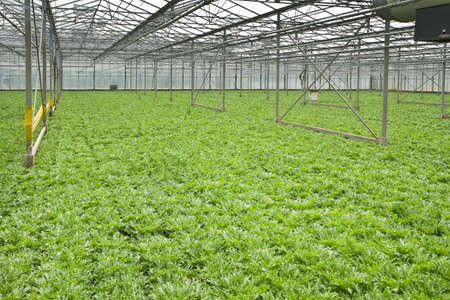 monoculture: Monoculture of Andive plants growing in glasshouse in summer - horizontal Stock Photo