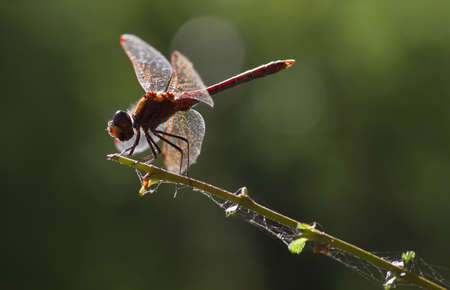 Backlight red Vagrant darter or Sympetrum vulgatum dragonfly with green with bokeh in summer photo