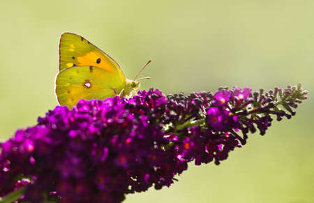 pieridae: Dark Clouded Yellow Butterfly or Colias crocea on purple Butterflybush in summer garden